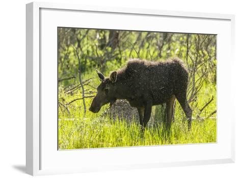 USA, Colorado, Rocky Mountain NP. Female Moose Shaking Off Water-Cathy & Gordon Illg-Framed Art Print