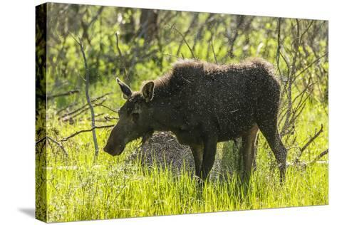 USA, Colorado, Rocky Mountain NP. Female Moose Shaking Off Water-Cathy & Gordon Illg-Stretched Canvas Print