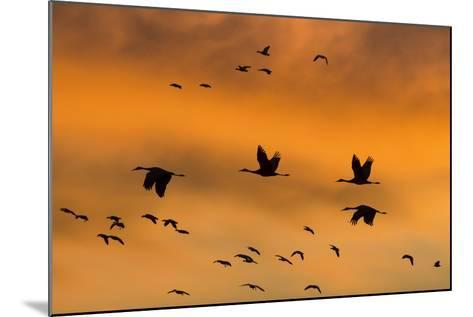 New Mexico, Bosque del Apache NWR. Sandhill Cranes Flying at Sunset-Don Paulson-Mounted Photographic Print
