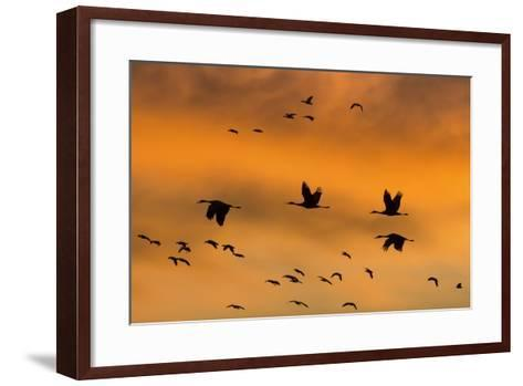 New Mexico, Bosque del Apache NWR. Sandhill Cranes Flying at Sunset-Don Paulson-Framed Art Print