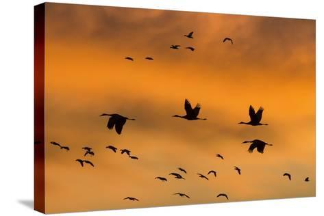 New Mexico, Bosque del Apache NWR. Sandhill Cranes Flying at Sunset-Don Paulson-Stretched Canvas Print