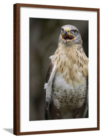 Czech Republic, Liberec, Sychrov. Red-Tailed Hawk. Castle of Sychrov-Emily Wilson-Framed Art Print