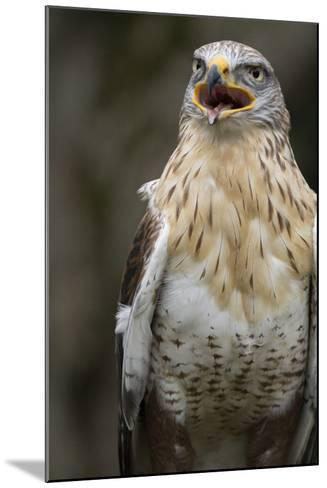 Czech Republic, Liberec, Sychrov. Red-Tailed Hawk. Castle of Sychrov-Emily Wilson-Mounted Photographic Print
