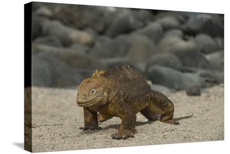 Galapagos Land Iguana, North Seymour Island Galapagos Islands, Ecuador-Pete Oxford-Stretched Canvas Print