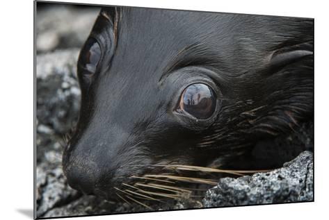 Galapagos Fur Seal, Galapagos Islands, Ecuador-Pete Oxford-Mounted Photographic Print