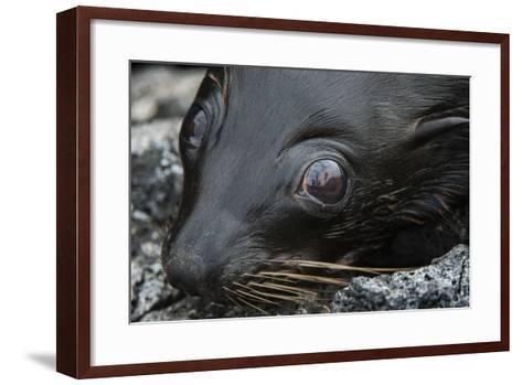 Galapagos Fur Seal, Galapagos Islands, Ecuador-Pete Oxford-Framed Art Print