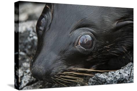 Galapagos Fur Seal, Galapagos Islands, Ecuador-Pete Oxford-Stretched Canvas Print