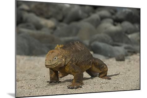 Galapagos Land Iguana, North Seymour Island Galapagos Islands, Ecuador-Pete Oxford-Mounted Photographic Print