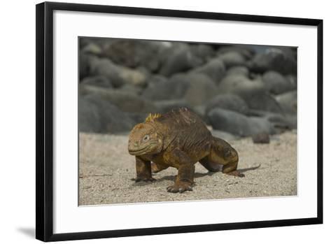 Galapagos Land Iguana, North Seymour Island Galapagos Islands, Ecuador-Pete Oxford-Framed Art Print