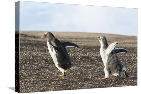 Falkland Islands. Gentoo Penguin Chicks Only Fed after a Wild Pursuit-Martin Zwick-Stretched Canvas Print