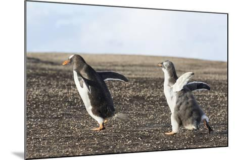 Falkland Islands. Gentoo Penguin Chicks Only Fed after a Wild Pursuit-Martin Zwick-Mounted Photographic Print