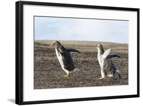 Falkland Islands. Gentoo Penguin Chicks Only Fed after a Wild Pursuit-Martin Zwick-Framed Art Print