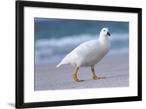 Kelp Goose (Chloephaga Hybrida), Male-Martin Zwick-Framed Art Print