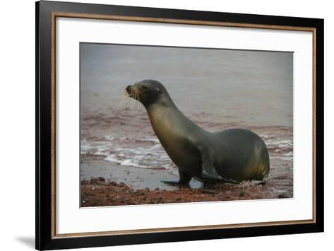 Galapagos Sea Lion Emerging onto the Beach, Galapagos, Ecuador-Pete Oxford-Framed Art Print