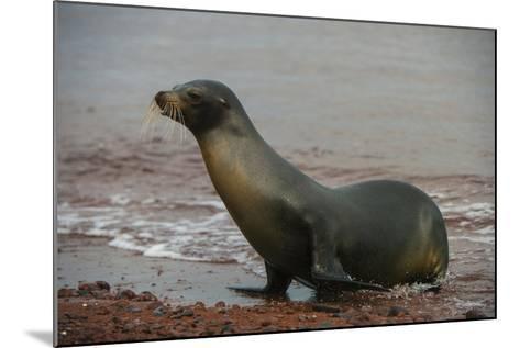 Galapagos Sea Lion Emerging onto the Beach, Galapagos, Ecuador-Pete Oxford-Mounted Photographic Print
