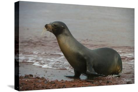 Galapagos Sea Lion Emerging onto the Beach, Galapagos, Ecuador-Pete Oxford-Stretched Canvas Print