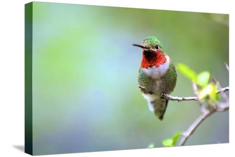 A Ruby-Throated Hummingbird, One of the Most Common of the Hummers-Richard Wright-Stretched Canvas Print