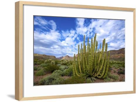 Organ Pipe Cactus NM, Saguaro and Organ Pipe Cactus to the Ajo Mts-Richard Wright-Framed Art Print