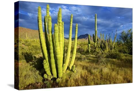 Organ Pipe Cactus NM, Saguaro and Organ Pipe Cactus to the Ajo Mts-Richard Wright-Stretched Canvas Print