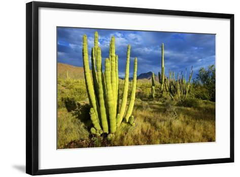 Organ Pipe Cactus NM, Saguaro and Organ Pipe Cactus to the Ajo Mts-Richard Wright-Framed Art Print