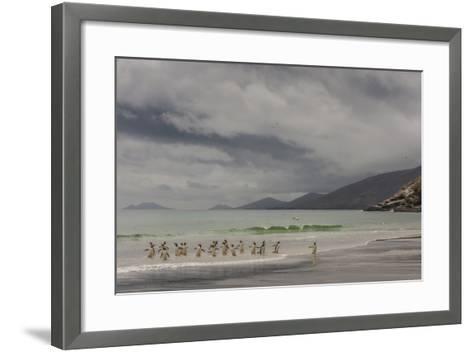 Falkland Islands, Saunders Island. Gentoo Penguins Coming Ashore-Cathy & Gordon Illg-Framed Art Print
