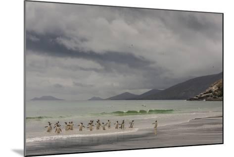 Falkland Islands, Saunders Island. Gentoo Penguins Coming Ashore-Cathy & Gordon Illg-Mounted Photographic Print