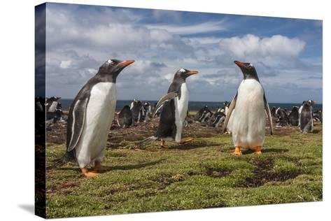 Falkland Islands, Bleaker Island. Gentoo Penguin Colony-Cathy & Gordon Illg-Stretched Canvas Print
