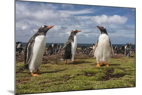 Falkland Islands, Bleaker Island. Gentoo Penguin Colony-Cathy & Gordon Illg-Mounted Photographic Print