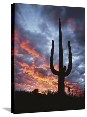 Arizona, Organ Pipe Cactus National Monument, Saguaro Cacti at Sunset-Christopher Talbot Frank-Stretched Canvas Print
