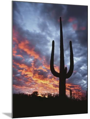Arizona, Organ Pipe Cactus National Monument, Saguaro Cacti at Sunset-Christopher Talbot Frank-Mounted Photographic Print