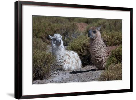 Chile, Andes Mountains, Tara Salt Lake. Close Up of Llamas Resting-Mallorie Ostrowitz-Framed Art Print