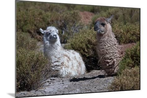 Chile, Andes Mountains, Tara Salt Lake. Close Up of Llamas Resting-Mallorie Ostrowitz-Mounted Photographic Print