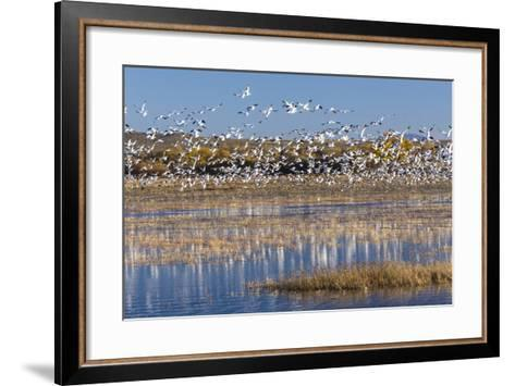 New Mexico, Bosque del Apache NWR. Fall Colors in Grasses-Don Paulson-Framed Art Print