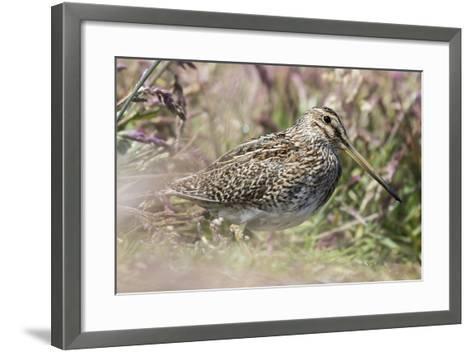 South American Snipe or Magellan Snipe in Dense Grass-Martin Zwick-Framed Art Print