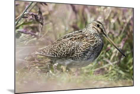 South American Snipe or Magellan Snipe in Dense Grass-Martin Zwick-Mounted Photographic Print