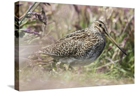 South American Snipe or Magellan Snipe in Dense Grass-Martin Zwick-Stretched Canvas Print