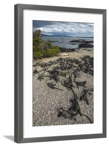 Marine Iguana, Fernandina Island, Galapagos Islands, Ecuador-Pete Oxford-Framed Art Print
