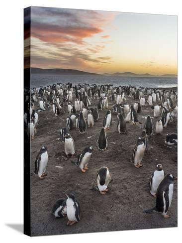 Gentoo Penguin (Pygoscelis Papua) on the Falkland Islands, Rookery-Martin Zwick-Stretched Canvas Print