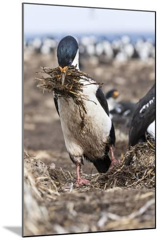 Imperial Shag also Called King Shag in a Huge Rookery-Martin Zwick-Mounted Photographic Print