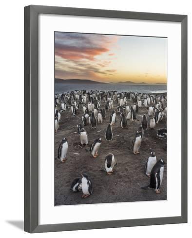 Gentoo Penguin (Pygoscelis Papua) on the Falkland Islands, Rookery-Martin Zwick-Framed Art Print
