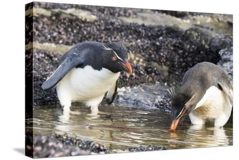 Rockhopper Penguin, Subspecies Southern Rockhopper Penguin-Martin Zwick-Stretched Canvas Print