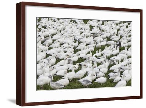 New Mexico, Bosque del Apache NWR. Snow Geese Flock on Grass-Don Paulson-Framed Art Print