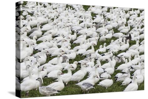 New Mexico, Bosque del Apache NWR. Snow Geese Flock on Grass-Don Paulson-Stretched Canvas Print