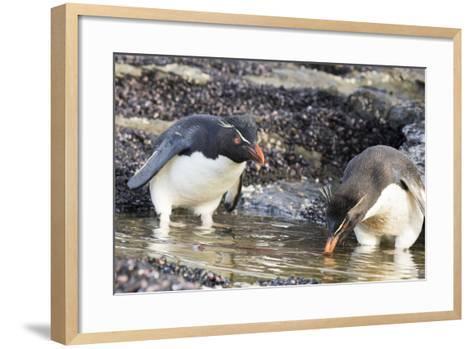 Rockhopper Penguin, Subspecies Southern Rockhopper Penguin-Martin Zwick-Framed Art Print