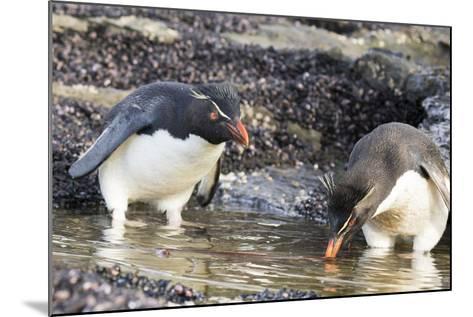 Rockhopper Penguin, Subspecies Southern Rockhopper Penguin-Martin Zwick-Mounted Photographic Print