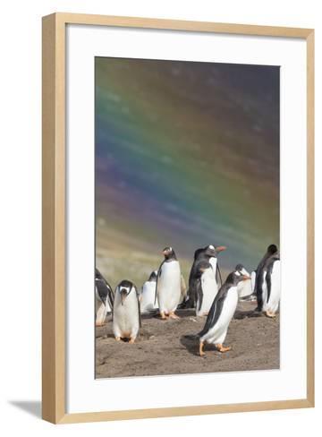 Gentoo Penguin on the Falkland Islands, Rookery under a Rainbow-Martin Zwick-Framed Art Print