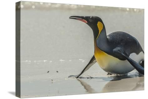 Falkland Islands, East Falkland. King Penguin on Beach-Cathy & Gordon Illg-Stretched Canvas Print
