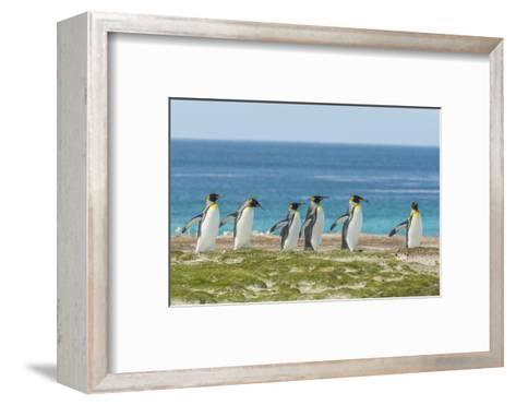 Falkland Islands, East Falkland. King Penguins Walking-Cathy & Gordon Illg-Framed Art Print
