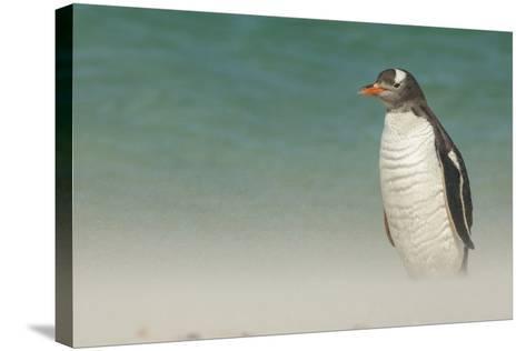 Falkland Islands, Bleaker Island. Gentoo Penguin on the Beach-Cathy & Gordon Illg-Stretched Canvas Print