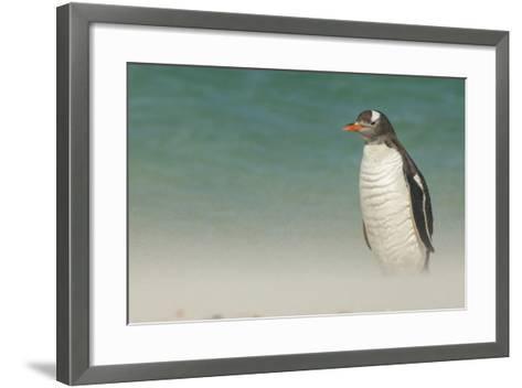 Falkland Islands, Bleaker Island. Gentoo Penguin on the Beach-Cathy & Gordon Illg-Framed Art Print